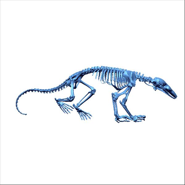 Aardvark skeleton - photo#16